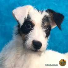 Parson Russell Terrier Hembra 05 Junio 2018 11