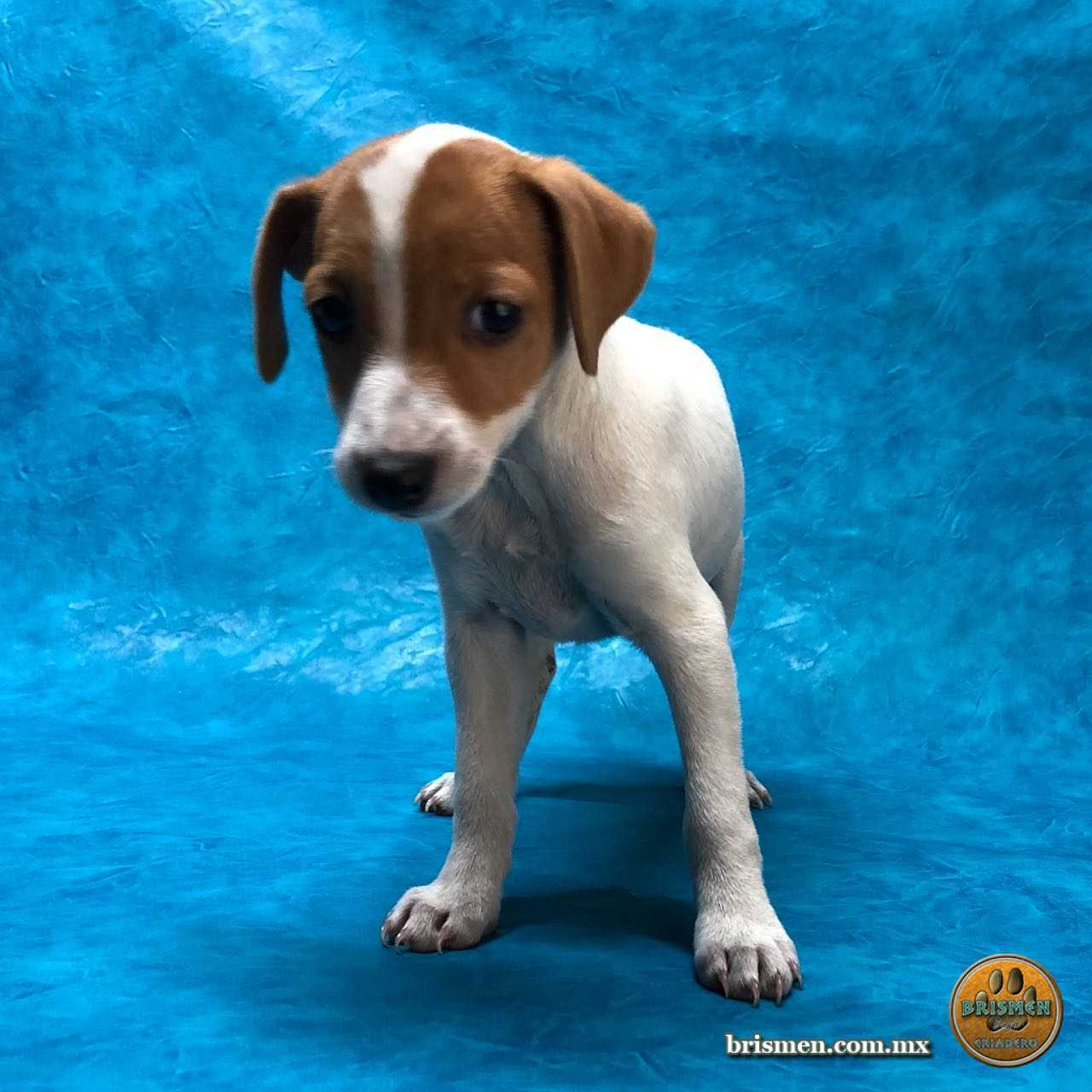 Cachorros Parson Russell Terrier