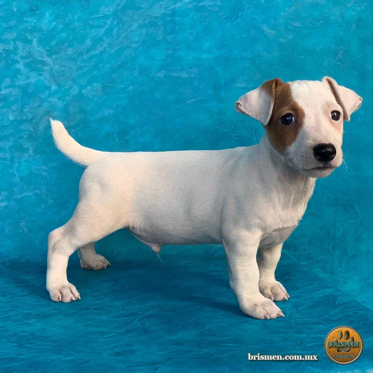 Jack Russell Terrier Macho A 28 Abril 2019 03