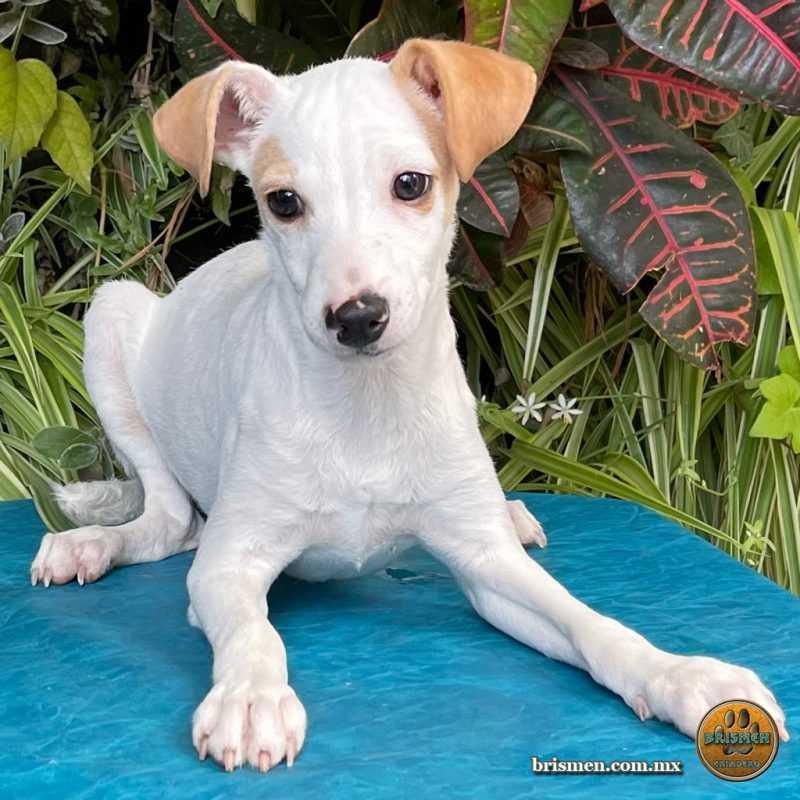 Jack Russell Terrier Macho C 01 Febrero 2021 03